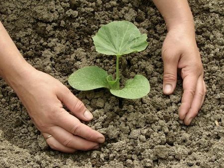 hands earthing young pumpkin seedling