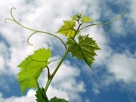 fresh vine sprout with tendrils against cloudy sky
