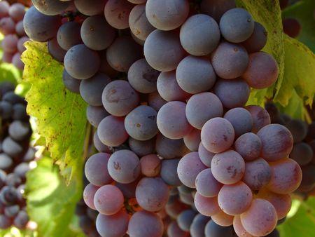 ripening grape clusters on the vine                                Standard-Bild