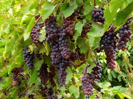 ripening grape clusters on the vine Imagens