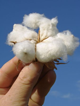 hand holding cotton boll against blue sky