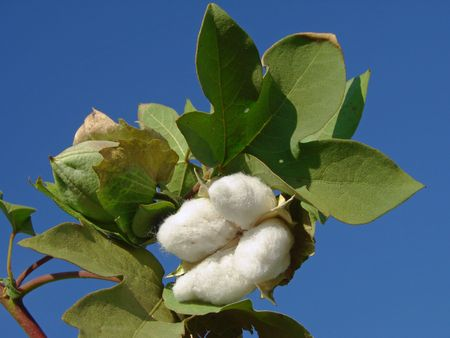 open cotton boll and closed one with leaves on the branch