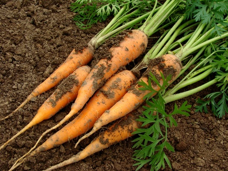 some carrots with tops on the ground