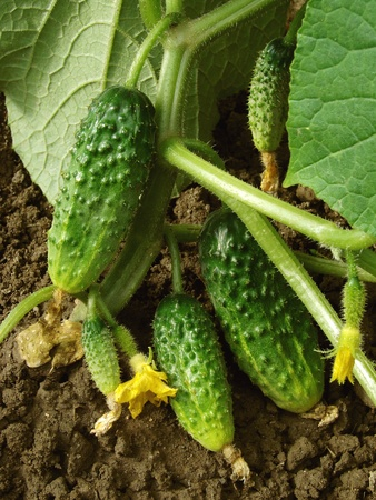 cucumber plant fragment with some fruits and flower