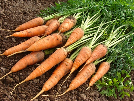 fresh carrots bundle                                Stock Photo