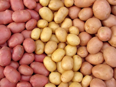 harvested potato tubers different varieties
