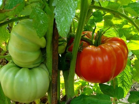reusachtige tomaten groeien op de tak