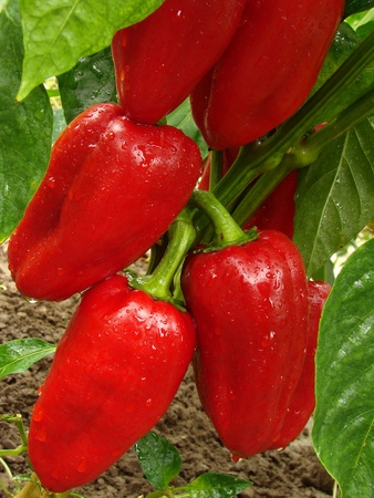 red peppers ripening on the vegetable bed