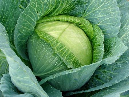 cabbage head with dew drops                                    Standard-Bild