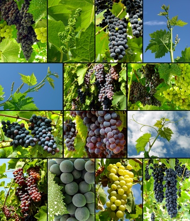 grapes growing and ripening in vineyard Stock Photo