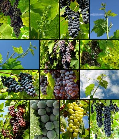grapes growing and ripening in vineyard Standard-Bild