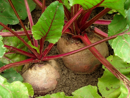 organic beetroots growing on vegetable bed