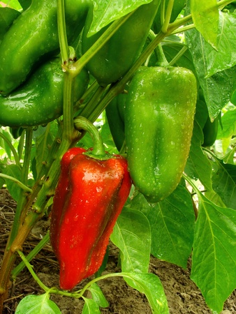 growing and ripening sweet peppers
