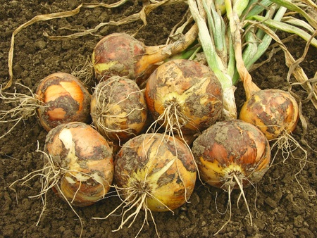 fresh harvested onions on the ground                               Standard-Bild