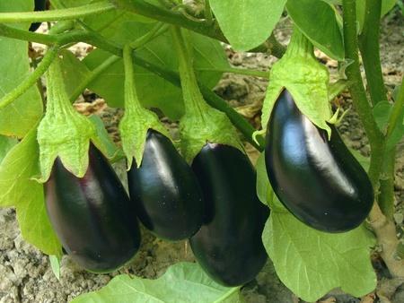 fruits aubergines poussent dans le jardin Banque d'images