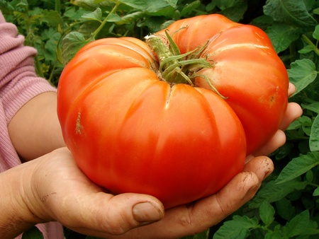 giant beef tomato in farmer hands                                Stock Photo