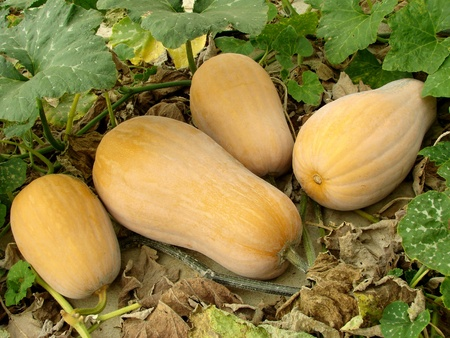 butternut squashes growing on vine                                Stock Photo