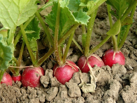 organic radishes growing on the vegetable bed