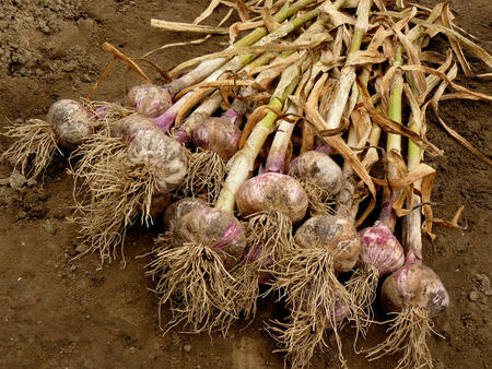 fresh harvested garlic photo