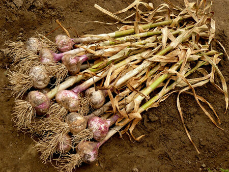 fresh harvested garlic bulbs with dry leaves on the ground photo