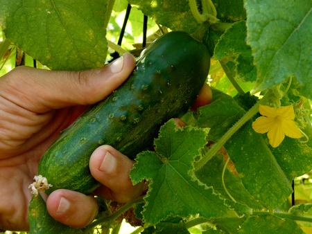 hand picking cucumber in the garden