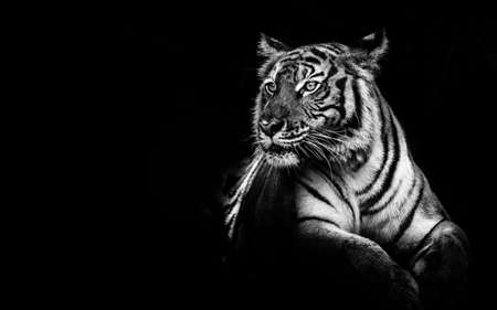 black and white tiger portrait. Banco de Imagens