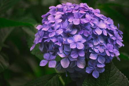 Hydrangea Flower of Rainy season, Japan