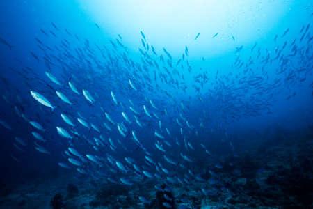 몰디브 바아 환초(Baa Atoll) 바다 아래 다이빙 사이트 주요 해양 생물 자원을 따라 수중에서 푸른 인도 고등어 학교. 스톡 콘텐츠