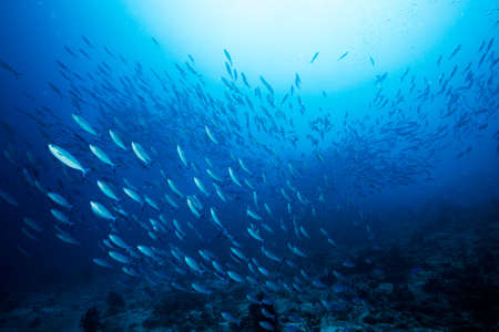 Scuola di sgombro indiano blu sott'acqua lungo le principali risorse di vita marina del sito di immersione sotto il mare, atollo di Baa, Maldive. Archivio Fotografico