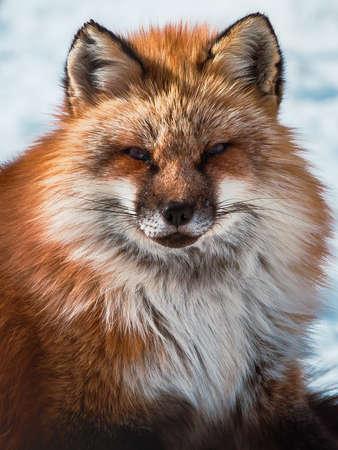 fluffy cute red fox portrait during white cold winter , zao , miyagi prefecture , Tohoku Area , Japan.