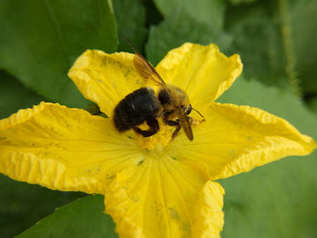 Bumble bees and flowers