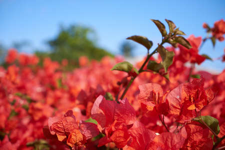 A hedge of bougainvilleas with pink leaves
