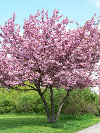 Blossoming tree in spring photo