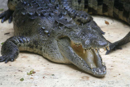 Crocodile with its mouth open  写真素材