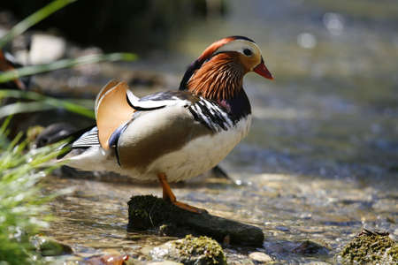 Colorful mandarin duck in the pond photo