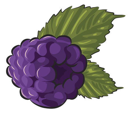 berry fruit: Fresh Blackberry isolated on white  Illustration