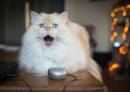 Housecat cauht in a yawn on coffee table