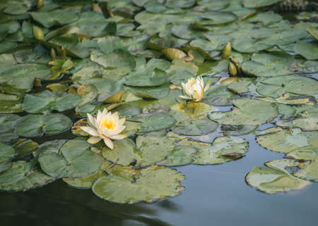 Green lilypads on pond with white flowers