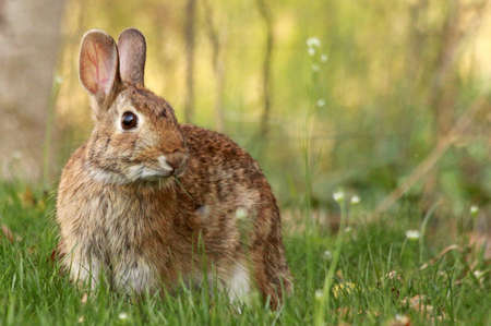 Brown rabbit looking into the camera sitting in green grass.