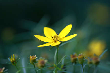 Closeup of yellow moonbeam coreopsis flower background out of focus.