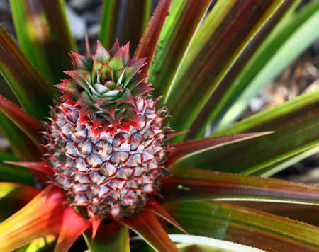 Closeup of pineapple growing on plant  Zdjęcie Seryjne