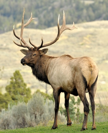 Protective Bull Elk Reklamní fotografie - 9887807