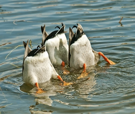Ducks Team Work Stock Photo