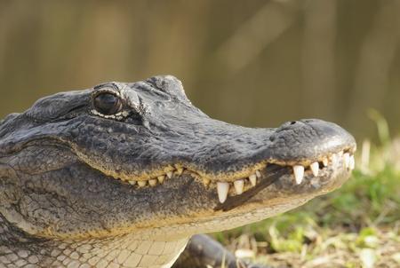 American Alligator Portrait Stock Photo