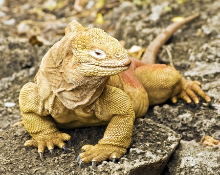 specie: Galapagos Land Iguana
