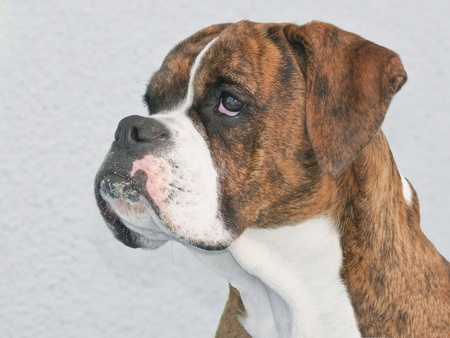 perro boxer: Boxer perfil del perro Foto de archivo