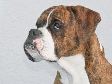 boxeador: Boxer perfil del perro Foto de archivo