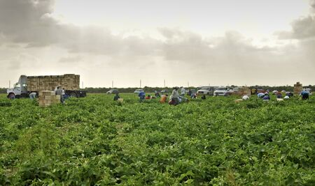 homestead: HOMESTEAD, FLORIDA USA - NOVEMBER 8: Group of field workers collecting vegetables on November 8, 2009 in Homestead, Florida.  South Florida is one of the mayor producer of vegetables in the country. Editorial