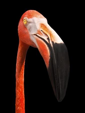 American Flamingo Portrait Stock Photo - 10091302