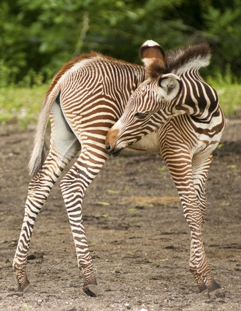 burchell: Grevy Zebra Calf Stock Photo